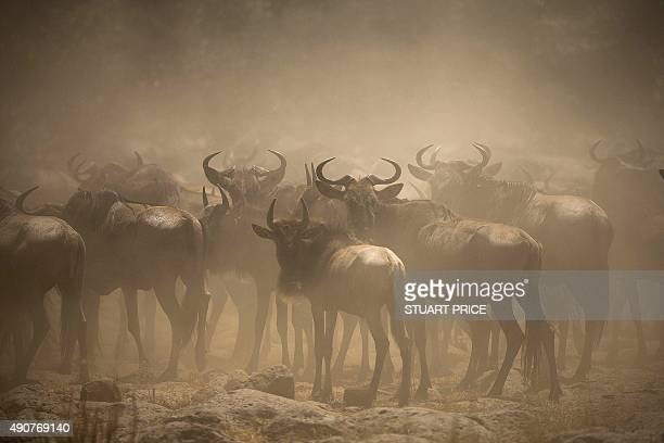 A handout picture taken on September 29 2015 and released by Make It Kenya shows a large group of wildebeest is shrouded in dust as it runs towards...