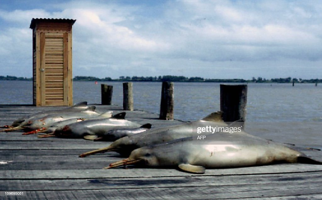 Handout undated picture of dead La Plata dolphins (Pontoporia blainvillei). The long-beaked La Plata River dolphin, a small species living in South America's Atlantic coastal waters, is increasingly threatened with extinction from big-net fishing, Brazilian researchers warn. At last 1,000 of these dolphins die every year near the coast of (Brazil's) Rio Grande do Sul,' scientist Emanuel Carvalho Ferreira told AFP .