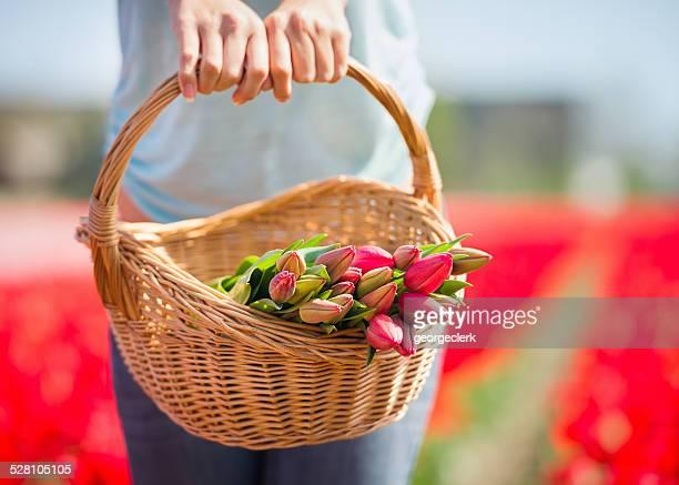 Handverlesene Tulpen auf dem Feld