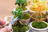 Hands cropping small decorative tree on wooden floor, Small bonsai tree in the Earthenware.