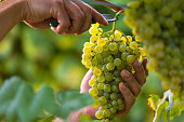 Close up of Worker's Hands Cutting White Grapes from vines during wine harvest in Italian Vineyard.
