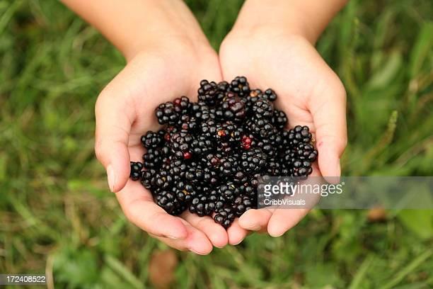 Mains des mûres fraîches