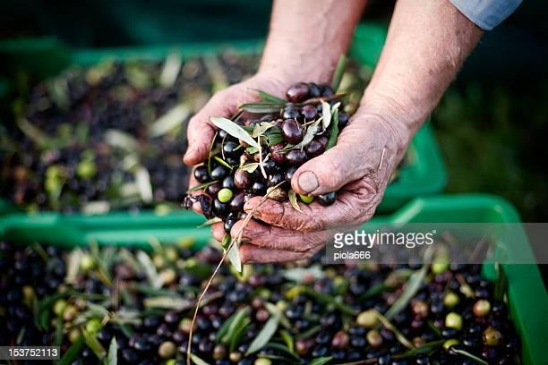 Hands Full of Olives during Harvesting