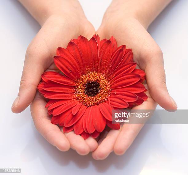 Hands holding a red Gerbera flower