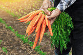Old man's hands holding bunch of carrots and standing in garden of radish growths.