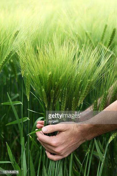 Hands Holding Green Wheat in a Field