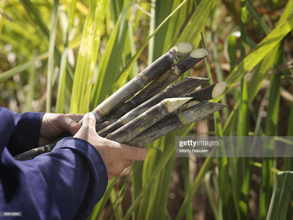 Hands Holding Harvested Sugar Cane