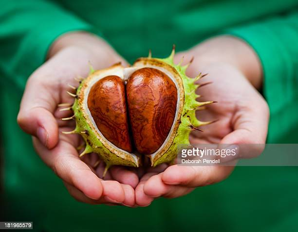 Hands holding large conker