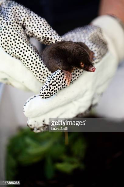 Hands holding little rescued mole