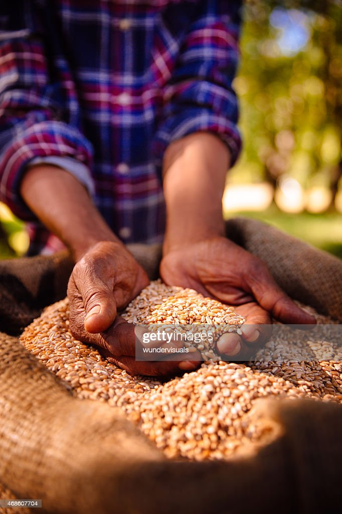 Hands holding nutritious fresh grains of wheat