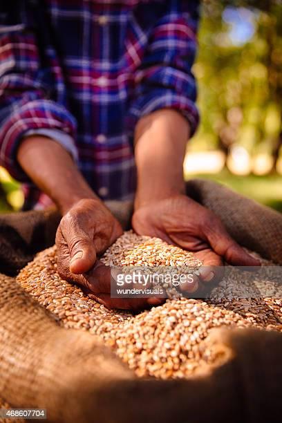 Mains tenant des plats nutritifs des grains de blé frais