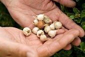 Hands holding onion bulbs