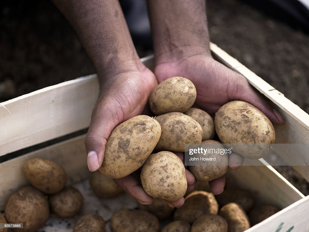 Hands holding potato harvest : Stock Photo