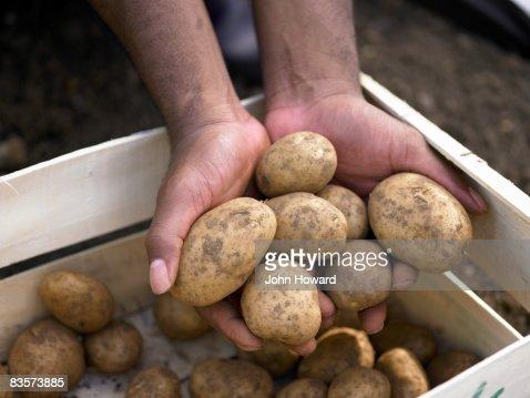 Hands holding potato harvest : Stock Photo