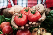 Hands holding tomato harvest. Crate with vegetables under.