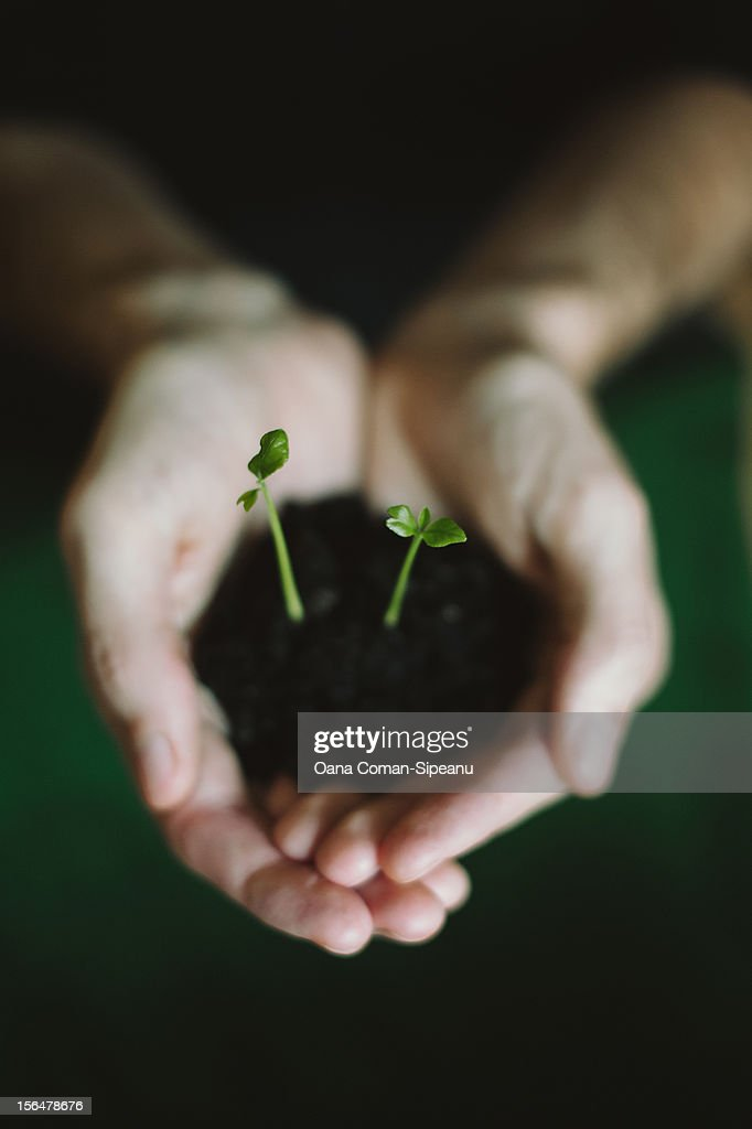 Hands holding two lemon saplings : Stock Photo