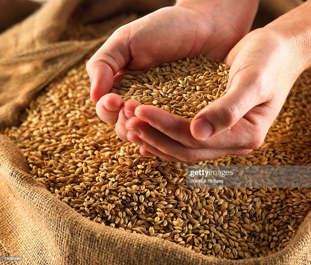Hands holding wheat : Stock Photo