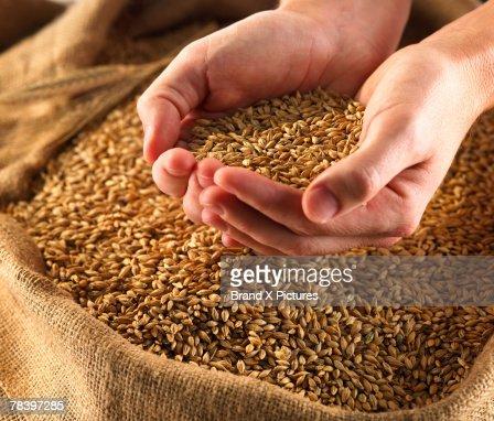 Hands holding wheat : Stockfoto