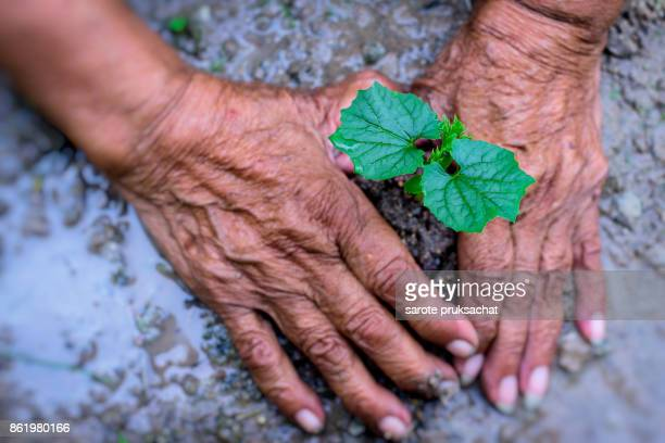 Hands of elderly Lady to plant a tree . Ecology concept .