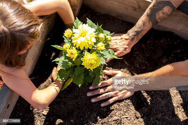 Hands of girl and father planting yellow flowers in community garden