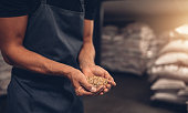 Close up shot of hands of master brewer with barley seeds. Employee examining the barley at brewery factory.