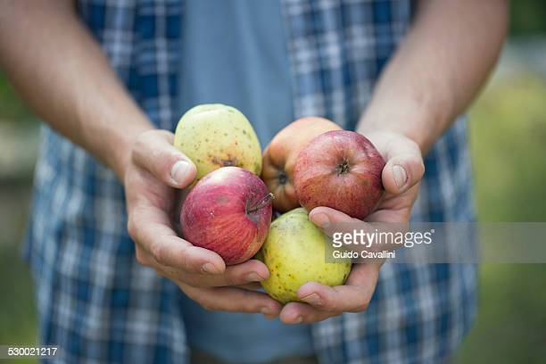 Hands of young male farmer holding apples, Premosello, Verbania, Piemonte, Italy