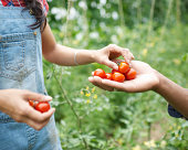 Hands passing freshly picked tomatoes.