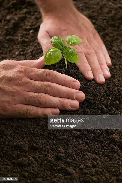 Hands patting dirt around small plant