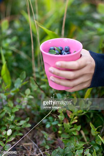 Hands picking bilberries