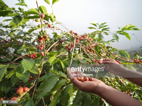 Hands Picking Coffee Beans : Stock Photo