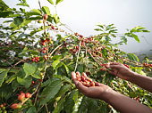 Hands Picking Coffee Beans