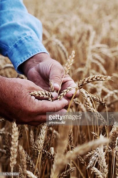 Mains dans le blé