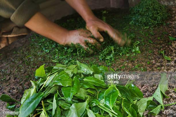Hands Preparing Tea Leaves Crop, Food Processing for Fermenting Drink