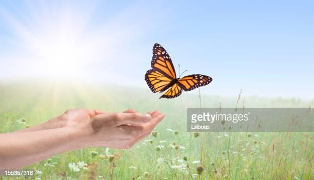 Mãos libertando uma Borboleta-monarca