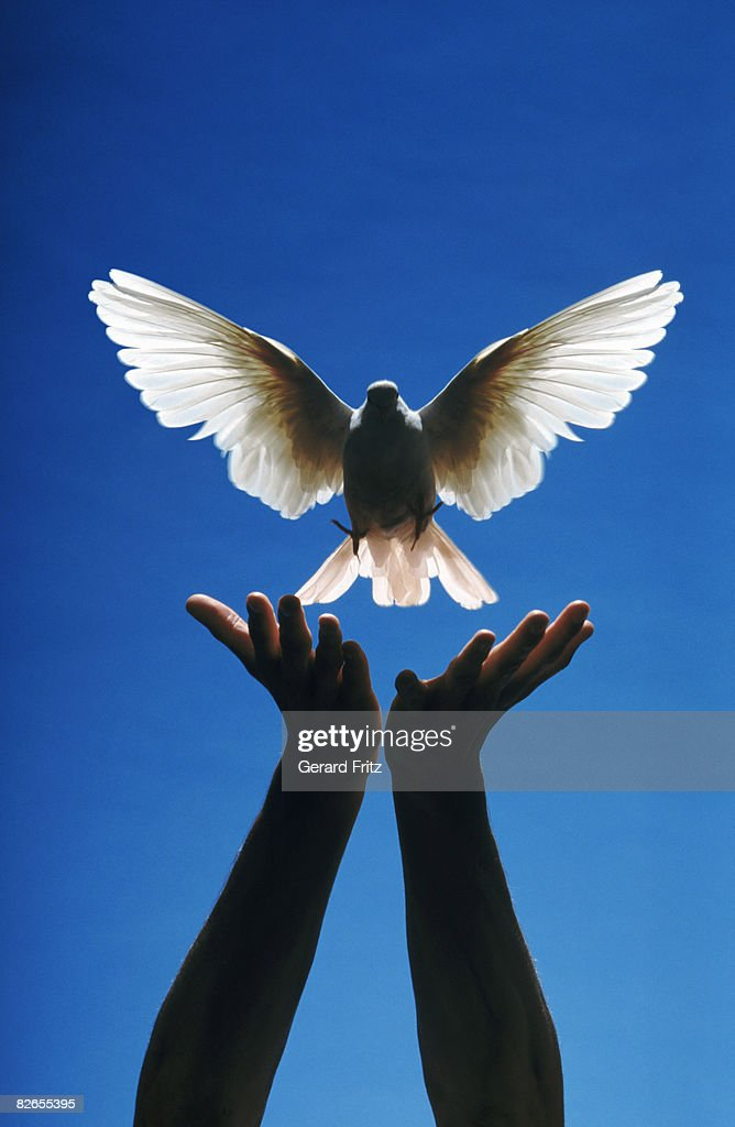 Hands releasing a white dove.