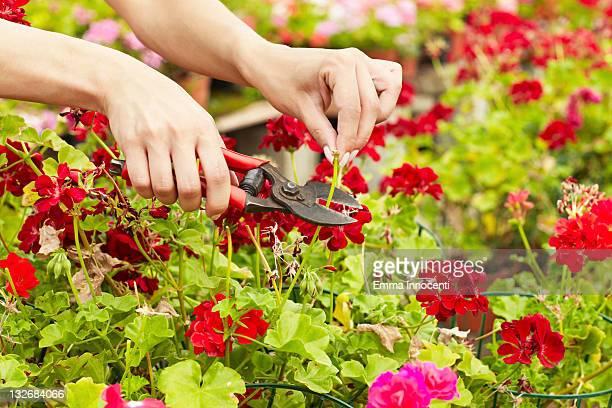 hands, trimming, geranium, shears