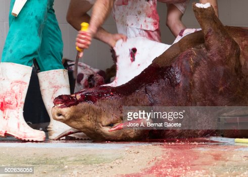 Hands with a butcher knife, skinning a bull