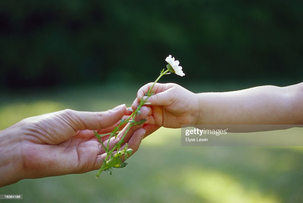 Hands with a flower : Stock Photo