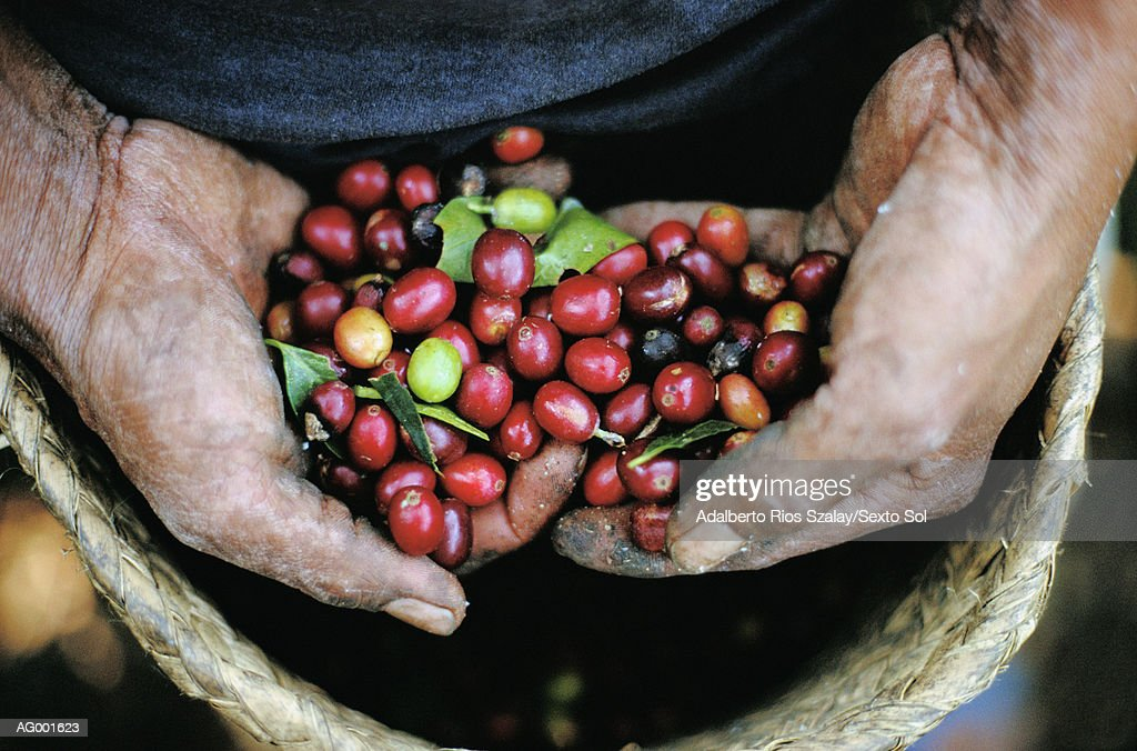 Hands with Coffee, Veracruz : Stock Photo