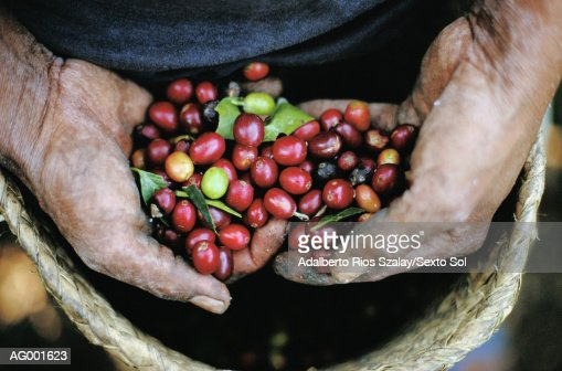 Hands with Coffee, Veracruz : Foto de stock