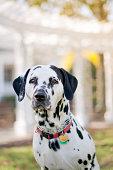 Handsome Dalmatian