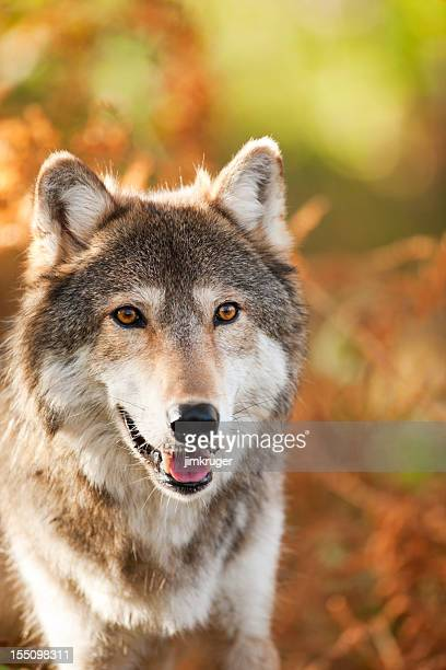 Handsome gray wolf in Autumn setting.