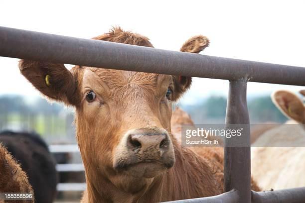 Handsome Steer