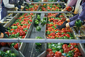 Shot of a group of unidentifiable factory workers sorting through peppers on a conveyor belt