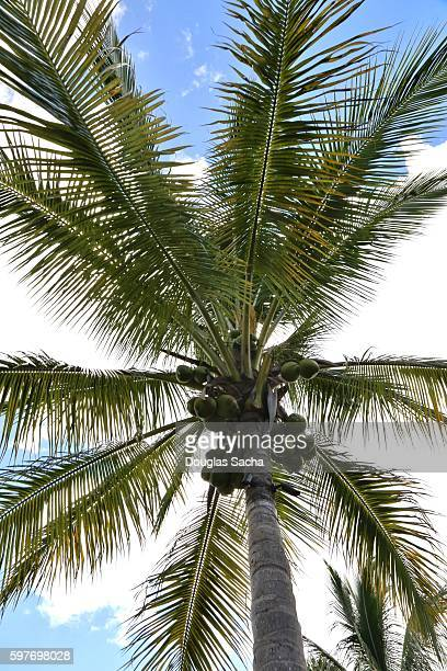 Hanging Coconuts on a tropical island (Cocos_nucifera)