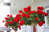 baskets of red geraniums hanging on the front porch