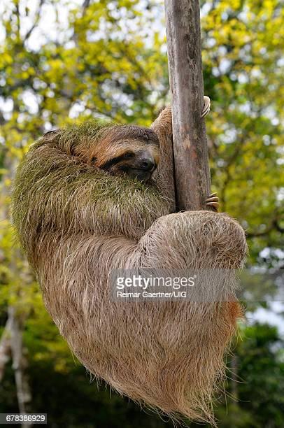 Hanging Sloth