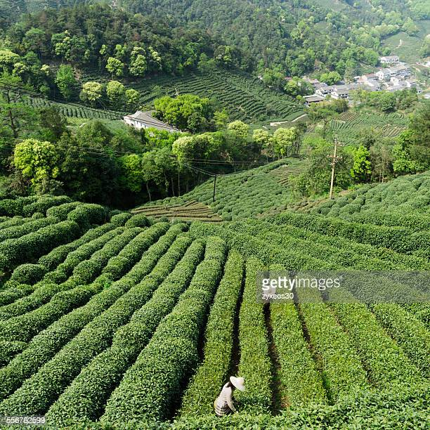 Hangzhou tea gardens in China