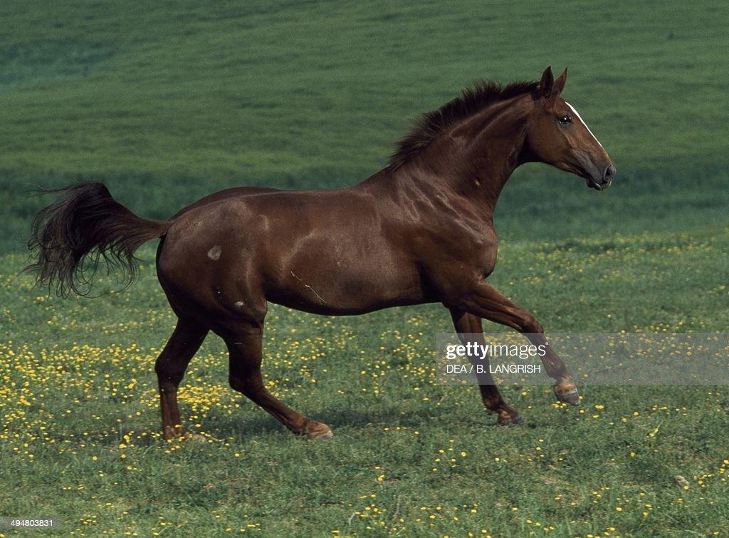 Hanoverian Lexis horse Equidae