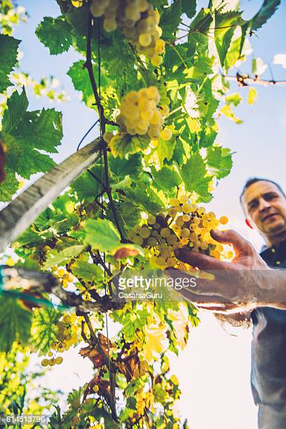 Hanpicking Ripe White Grapes